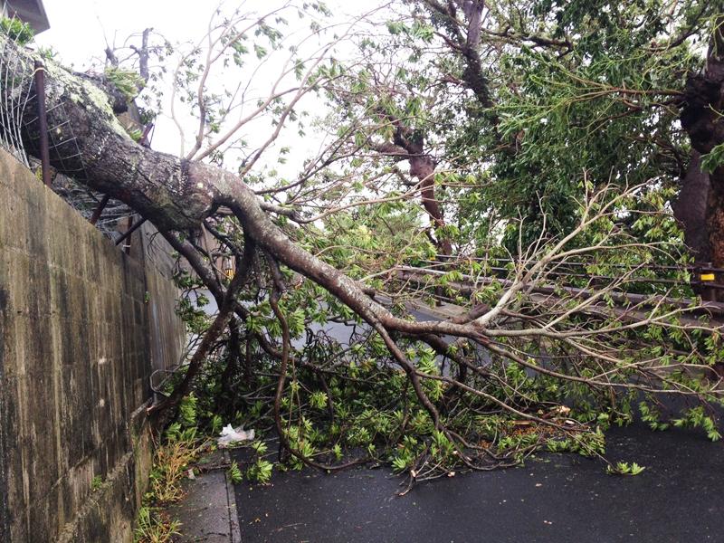 2012年9月の台風で倒れた木=那覇市