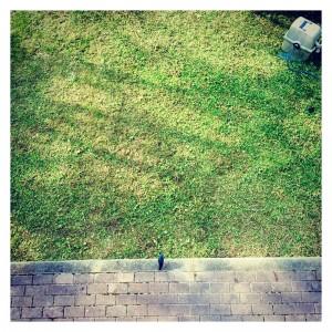 庭に遊びにくるヒヨドリ/写真