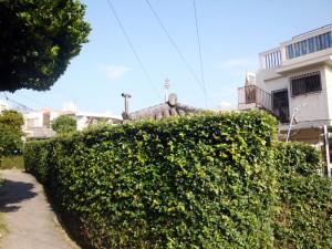 写真3/やちむん通りとほぼ平行に入り込んだスジ小で見つけた屋敷囲い。ツタに覆われ雰囲気がいい