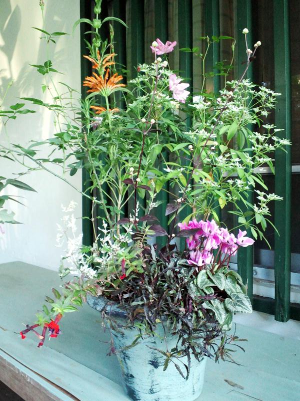 寄せ植えが一鉢あると華やかに来客を迎えることができる。使用しているのは島バラ、ユーホルビア白雪姫、シクラメン、ヘミグラフィス レパンダ、クフエァタイニィーマイス、赤葉千日紅、レオノチス、テランセラエンゼルレース