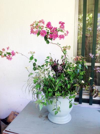 内径27センチの鉢に植えられた八重咲きブーゲンビリア、クロトン、斑入りヤブラン、コロマンソウ(黄色)、ユーホルビア白雪姫、木立ちベコニア、クミスクチンの7株