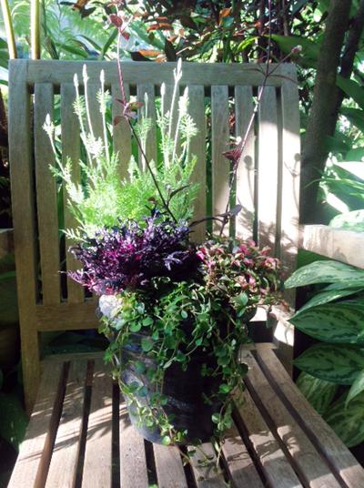 内径15センチの鉢に植えられたレースラベンダー、赤葉千日紅、アキランサス、ハボタン、ピレア・ディプレッサの5株