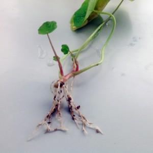 ナスタチウム(キンレンカ)を挿し芽して2週間後。ピンチを行った中央部分に芽が出ている
