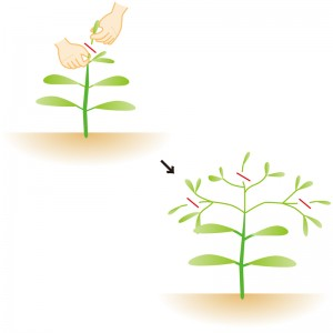 ピンチは、葉が2~4枚のところで繰り返していく