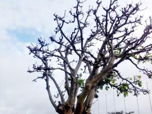 虫の被害か、デイゴの枝の伸びがストップ。