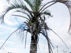 公園のミツヤヤシ(サンカクヤシ)。下の芝はよく管理されているが、ヤシは枯れ葉が付いたまま