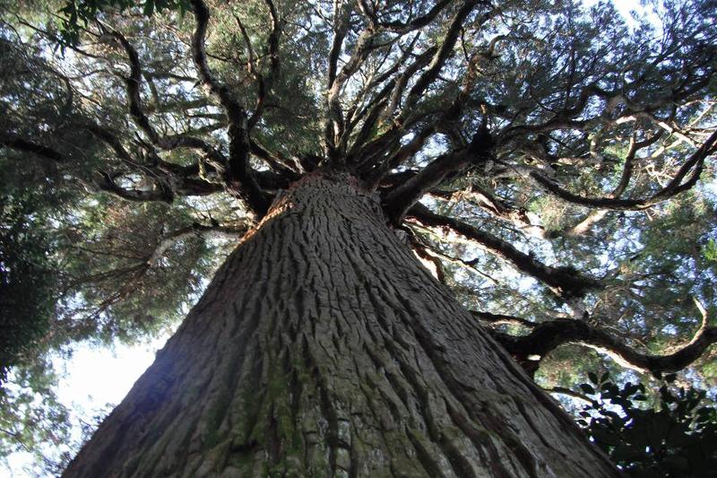 木霊が宿る市房山神社の御神木「一房杉(いちふさすぎ)」(熊本県球磨郡水上村)。樹齢800~1000年、樹高約40m。前に立つと言葉も出ないほど圧倒される。日本人の心の中では、畏れは慎みに変化する