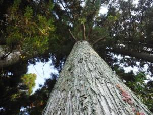 心柱に特定した綾杉の大木