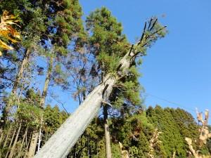 空師がまるでサルのようにロープ一本で木に登り、特定した綾杉の頂部を切断する。枝を残したまま伐採するのは至難の業