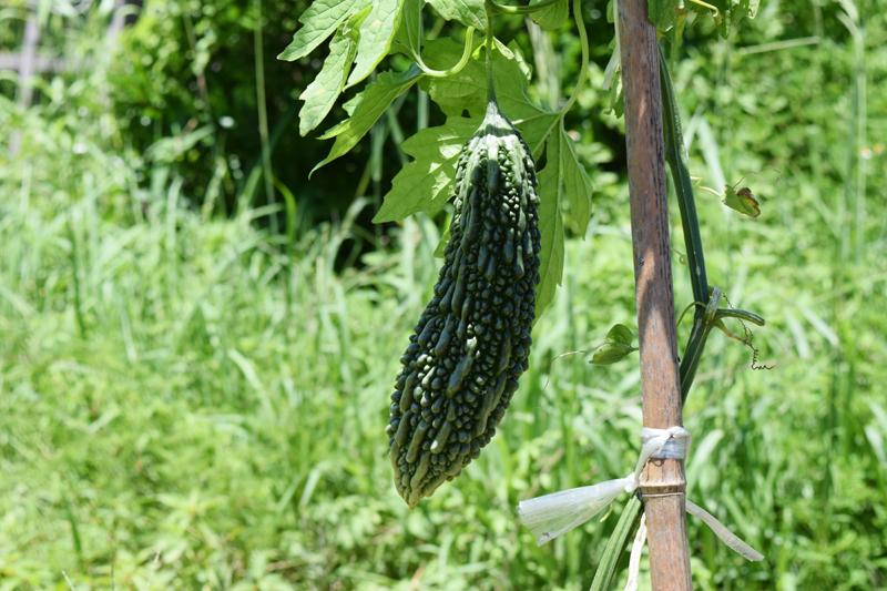 そろそろ一回目の収穫が出来そうです♪ 濃い緑が栄養をしっかり吸収しているようで、美味しそう。