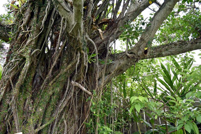 枝葉からひげのような気根を伸ばすのが特徴のガジュマル