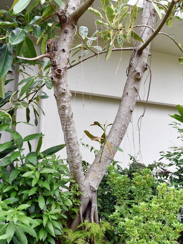 幹から出る乳液がゴムの原料になる「インドゴムノキ」