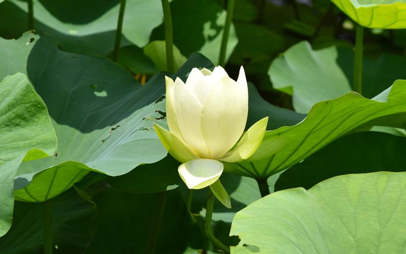 ハスは夏の朝に水面まで花茎を立てて開花する。写真は開花1日目。半開きの状態
