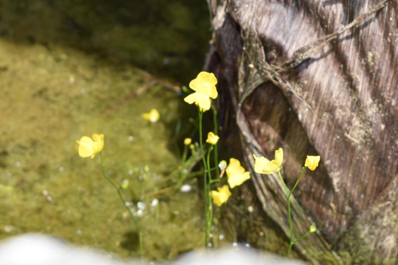 タヌキモの花。最も巧妙なわなを持つと言われるが、そのわなは1ミリ程