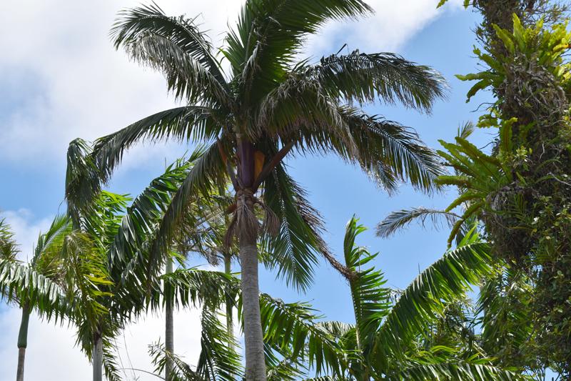 ヤシの中で最も美しいと称される「ヤエヤマヤシ」。八重山諸島の固有種