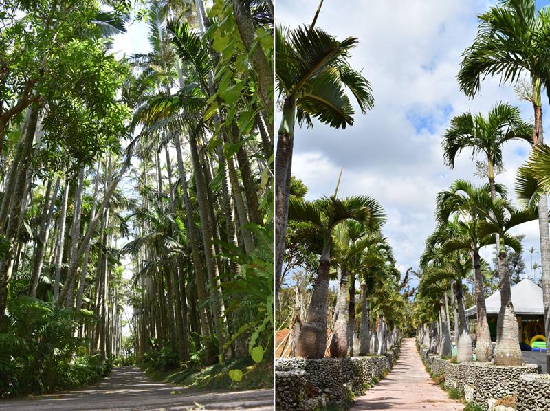 国内では東南植物楽園でしか見ることができないユスラヤシの並木道/写真左。南国情緒たっぷりのトックリヤシの並木道/写真右