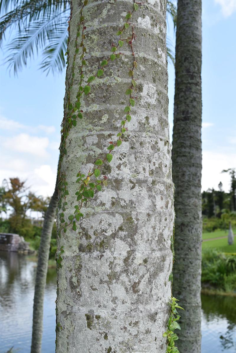 幹に残る「葉痕」。葉が落ちた後、横に入るこの線の数を数えると樹齢が分かる