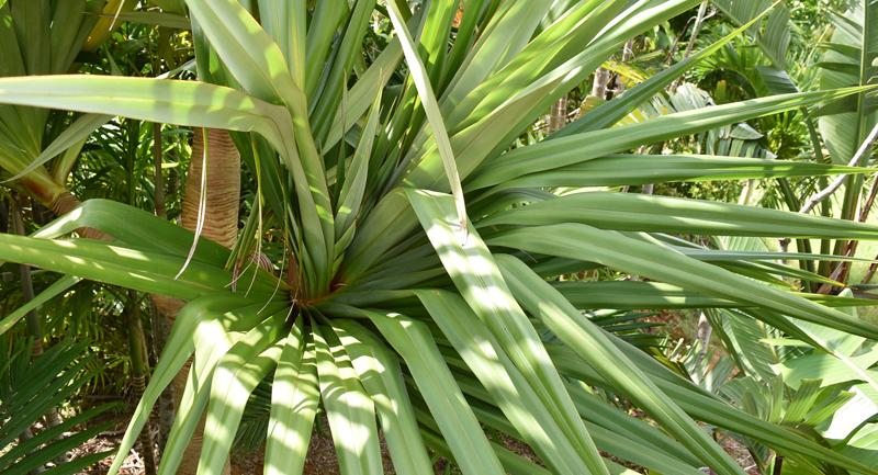 螺旋状に出てくるタコノキの葉っぱ