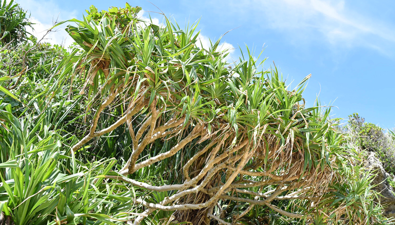 アダン。幹は斜め、もしくは横に伸びる特徴がある。塩害にも強く昔から台風や強風から生活を守ってくれている