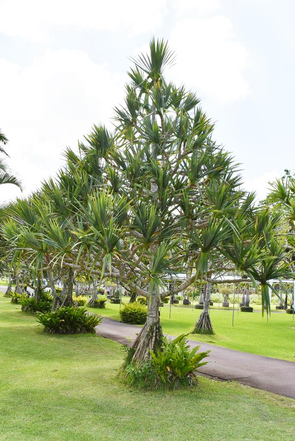 ビヨウタコノキ。タコノキの中で最も美しい葉っぱと言われることから、美葉(ビヨウ)タコノキと呼ばれる