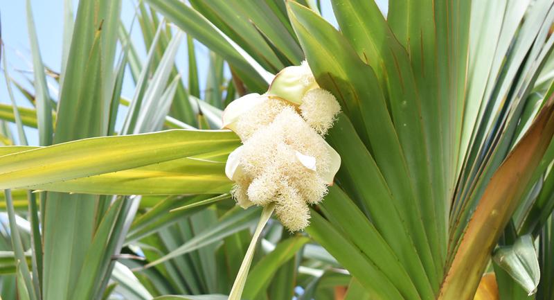 ビヨウタコノキの雄花、春と秋に開花する