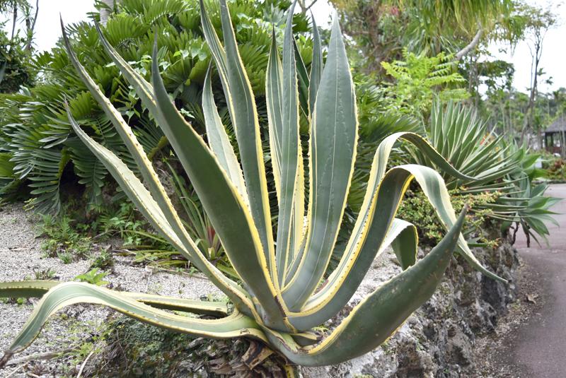 アオノリュウゼツラン黄覆輪。リュウゼツラン属の中でも最も美しくて巨大な斑(ふ)入り種。アガベシロップやその他アルコールなど利用価値が高い