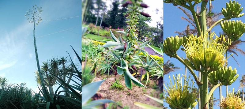 テキーラリュウゼツの花茎。天高く伸びる花茎は時に10mもの長さに達する(写真左) ハツミドリ(アガベ・アッテヌアタ)のムカゴ(写真中央) アガベ・ベネズエラの花。リュウゼツランの花は下から順々に開花していく(写真右)
