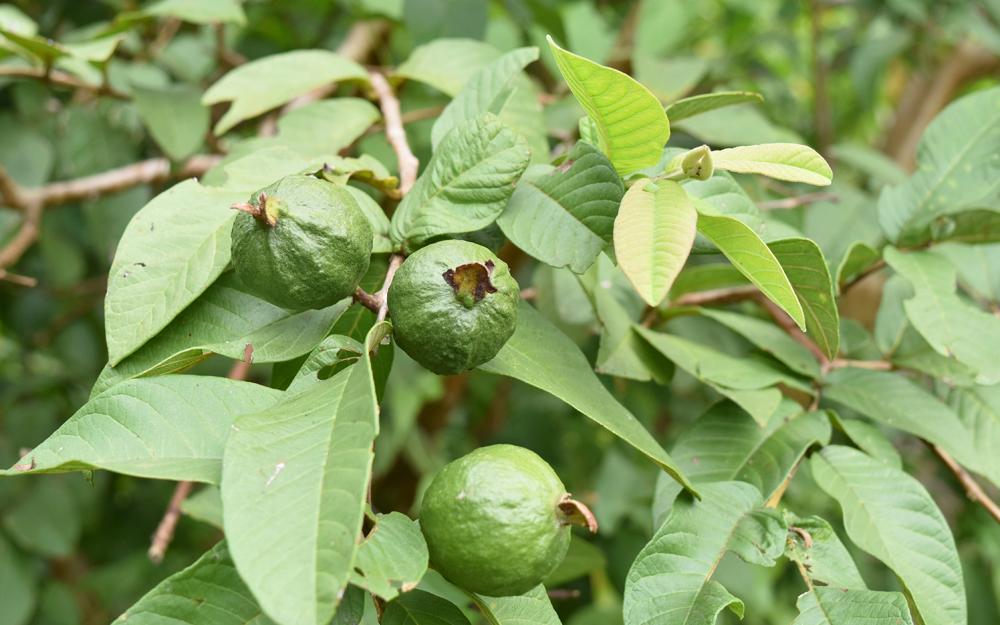 グアバ(バンジロウ)。年に2回開花結実する南国を代表するフルーツ。