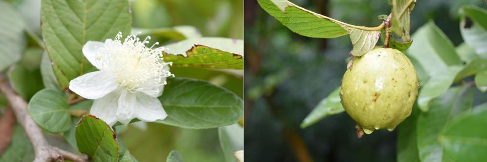 フトモモ科の花の象徴的なグアバの花/写真左 完熟した実/写真右