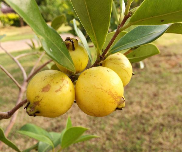 キミノバンジロウは熟すると果実が黄色になる
