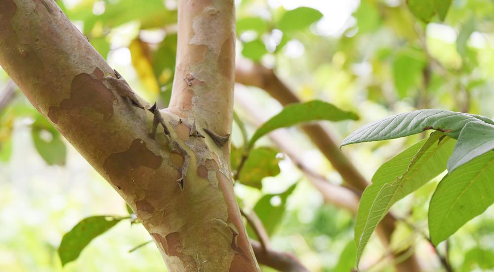 グアバはサルスベリのような幹で、庭木としても人気がある