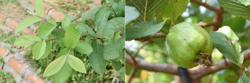 グアバの葉はお茶だけでなく、天ぷらやごまあえにしてもよい/写真左 種なしグアバは生食よりもお菓子などの調理に向いている/写真右