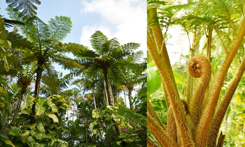日光が好きで空高く伸びるヒカゲヘゴ/写真左 猿の尻尾のような形をしたヒカゲヘゴの新芽/写真右