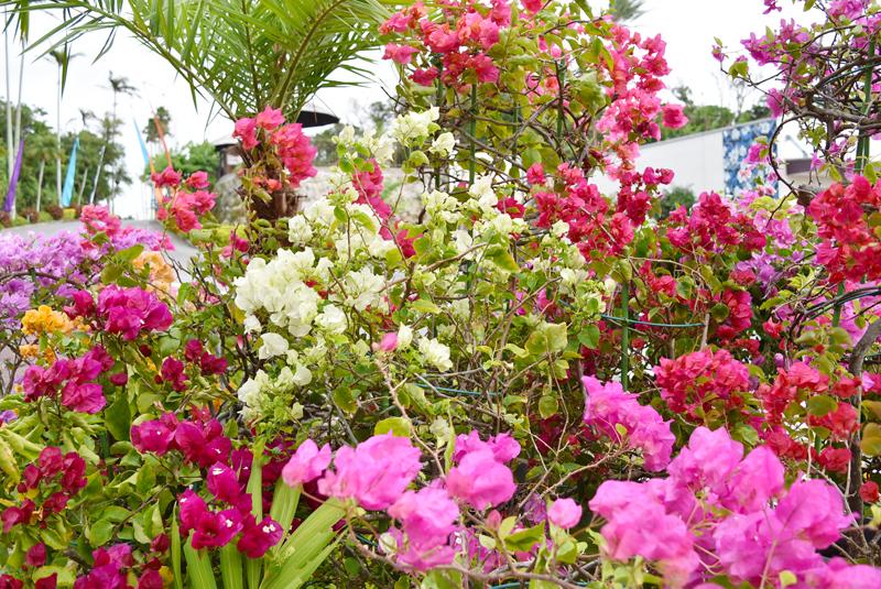 園内では色とりどりのブーゲンビレアを見ることができる