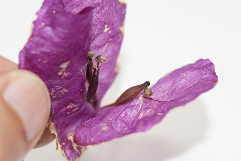 <種ができるのは稀>右の膨らんだ萼に種が入っている