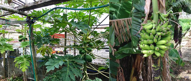 パパイア/写真左 バナナ/写真右