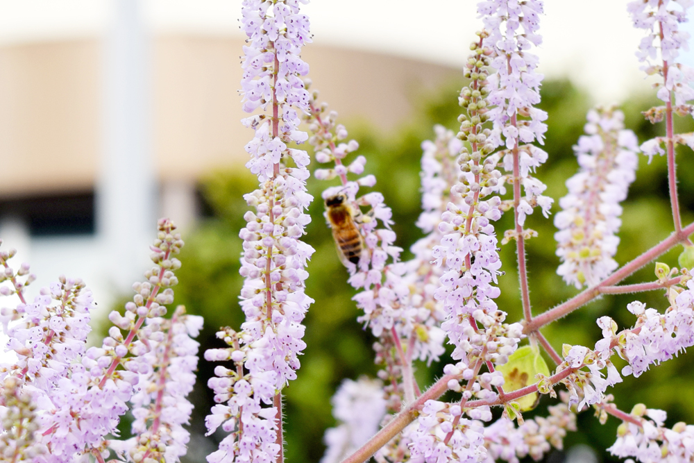 よく見るとミツバチが甘い香りに誘われて、春の準備をしていました。