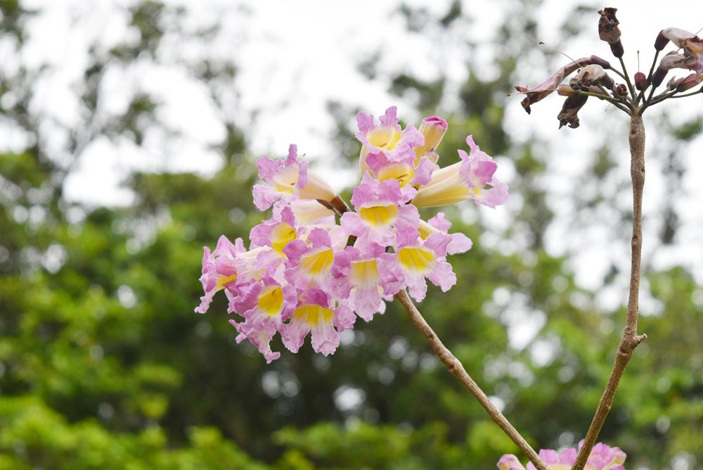 紫系のイペー。県内では確認できるだけで4種類以上の紫系のイペーが存在するが和名、別名は付いていない/写真